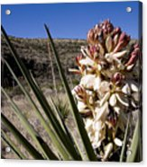 A Yucca Plant Blossoms In The Desert Acrylic Print