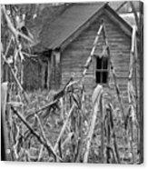 Abandoned Farmhouse Through Cornfield Acrylic Print
