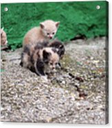 Abandoned Kittens On The Street Acrylic Print