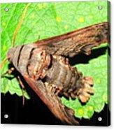 Abbotts Sphinx Moth Acrylic Print
