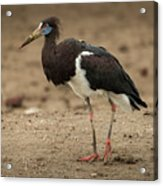 Abdim Stork Walks Right-to-left Across Muddy Ground Acrylic Print