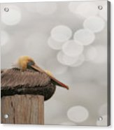 Above It All - Brown Pelican Acrylic Print