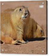 Absolutely Adorable Prairie Dog With  A Friend Acrylic Print