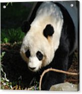 Absolutely Beautiful Giant Panda Bear With A Sweet Face Acrylic Print