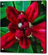 Abstract Rhoddy Bloom Acrylic Print