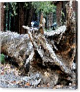Abstract Sequoia Tree Acrylic Print