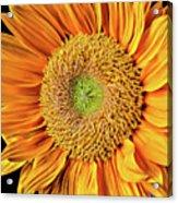 Abstract Sunflower Acrylic Print