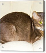 Abyssinian Cat On Chair Pillow, Symbol Of Comfort Acrylic Print