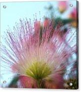 Acacia Bloom Acrylic Print