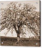 Acacia Tree In Sepia Acrylic Print