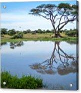 Acacia Tree Reflection Acrylic Print