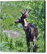 Acadia Buck 2 Acrylic Print