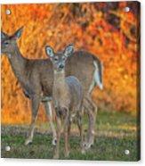 Acadia Deer Acrylic Print