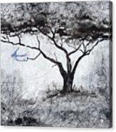 Acasia Tree Acrylic Print