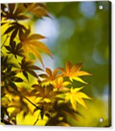 Acer Glow Acrylic Print