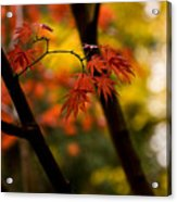 Acer Silhouette Acrylic Print