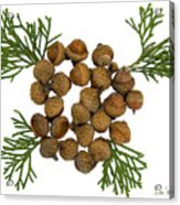 Acorns With Cedar Acrylic Print