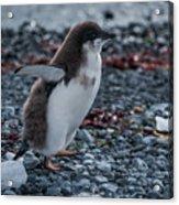 Adelie Penguin Chick Running Along Stony Beach Acrylic Print