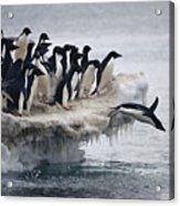 Adelie Penguin Pygoscelis Adeliae Acrylic Print by Tui De Roy