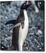 Adelie Penguin Squawking On Grey Shingle Beach Acrylic Print