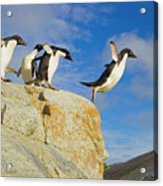 Adelie Penguins Jumping Acrylic Print