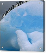 Adelies In Blue Iceberg Acrylic Print