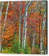 Adirondack Birches In Autumn Acrylic Print
