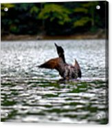 Adirondack Loon 4 Acrylic Print