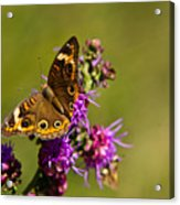 Admiral Butterfly  Acrylic Print