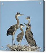 Adolescent Great Blue Herons Acrylic Print