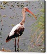 Adolescent Ibis Acrylic Print