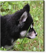 Adorable Alusky Pup Creeping Through Tall Blades Of Grass Acrylic Print