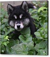 Adorable Alusky Puppy Hiding In A Garden Acrylic Print