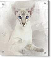 Adorable Blue-eyed Oriental Cat  Acrylic Print