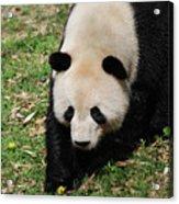 Adorable Face Of A Black And White Giant Panda Bear Acrylic Print