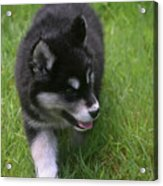 Adorable Fluffy Alusky Puppy Walking In Tall Grass Acrylic Print