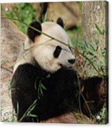 Adorable Giant Panda Bear Eating Bamboo Shoots Acrylic Print