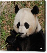 Adorable Giant Panda Eating A Green Shoot Of Bamboo Acrylic Print