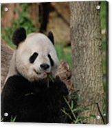 Adorable Giant Panda Eating A Shoot Of Bamboo Acrylic Print