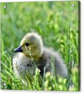 Adorable Goose Chick Acrylic Print