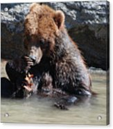 Adorable Grizzly Bear Playing With A Maple Leaf While Sitting In Acrylic Print
