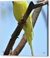 Adorable Little Yellow Parakeet In A Tree Acrylic Print