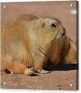 Adorable Pair Of Chubby Black Tailed Prairie Dogs Acrylic Print