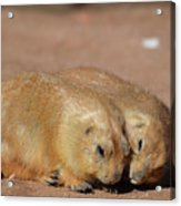 Adorable Pair Of Prairie Dogs Cuddling Together Acrylic Print