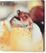 Adorable Tiny Hamster Pet Feasting On Corn Acrylic Print