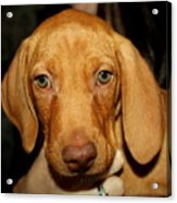 Adorable Vizsla Puppy Acrylic Print