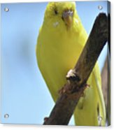 Adorable Yellow Budgie Parakeet Bird Close Up Acrylic Print
