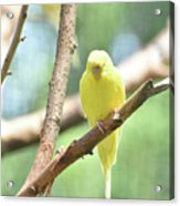 Adorable Yellow Budgie Parakeet Relaxing In A Tree Acrylic Print