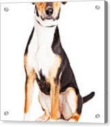 Adorable Young Mixed Breed Puppy Dog Acrylic Print