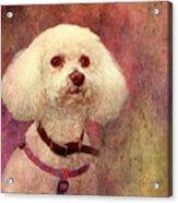 Adoration - Portrait Of A Bichon Frise  Acrylic Print